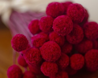 Bunch of Cranberry Craspedia, pink-red billy balls, red billy balls, billy buttons, red decor, cranberry wedding, red flowers