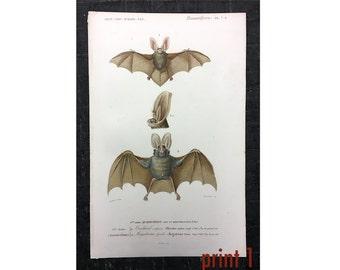 c. 1849 BATS ANTIQUE ENGRAVING - original antique print from 1849 - hand colored engraving - cheiroptera vampire bat flying fox fruit bat