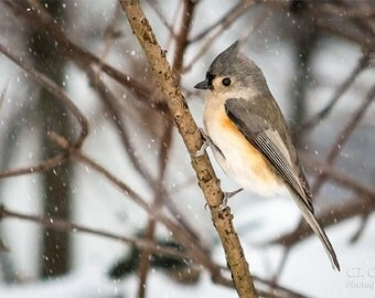 Avian Nature Photography Print, Tufted Titmouse in the snow, Wintertime, Bird enthusiast wall decor