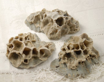 3 medium-large fossil barnacle shell clumps on scallop shells (no.48)