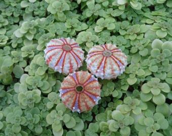Mini Rainbow Urchin-Rare