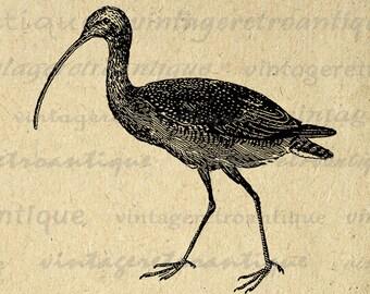 Digital Curlew Bird Image Printable Bird Graphic Download Illustration Vintage Clip Art Jpg Png Eps Print 300dpi No.4154