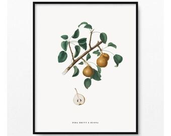 Fruit Botanical Print- Kitchen Wall Art- Pear Illustration- Vintage art- Pera Brutt-e-buona- Pyrus sycophanta- (BP-025)