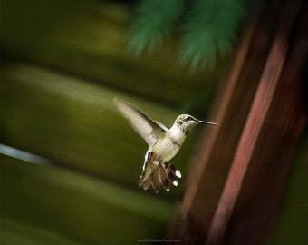 Humming Bird Photograph, Hummingbird In Flight, Hummingbird Fine Art Print or Canvas Wrap in Standard or Square Sizes