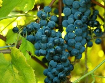1 Venus Seedless Grape Plant 2yr Rooted Cutting