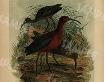 GLOSSY IBIS-SICHLE Original antique bird print large folio natural history Chromolithograph decorative art wall art 1890's
