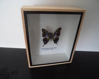 Real Butterfly Purple Spotted Swallowtail Taxidermy Mounted Display Lepidoptera Entomology Zoology Collectable