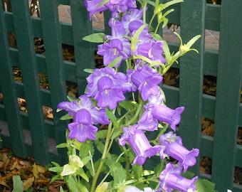 Canterbury Bells mixed color flowers, 40+ seeds, Campanula  multicolor