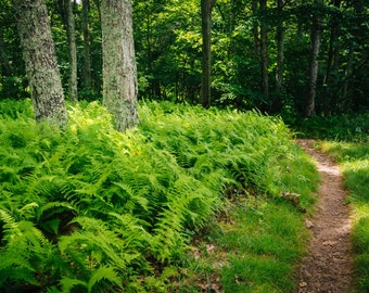 Ferns and trees along a trail in Shenandoah National Park, Virginia. | Photo Print, Stretched Canvas, or Metal Print.