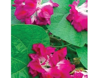 AIP) RAFFLES Morning Glory~Seeds!~~~~Super Double Variety!!!