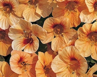 ANAT) TIP TOP Apricot Nasturtium~Seeds!!~~~~Wow!~~What a Flower!!