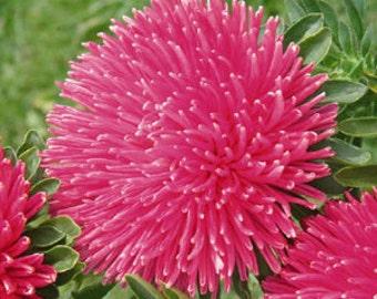 AASG) GREMLIN DARK Rose Aster~Seeds!~~~~~~~~~Wow!