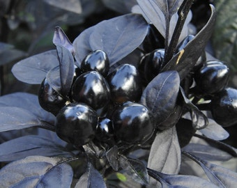 VPPHO) BLACK PEARL Hot Pepper~Seed!!!!~~~Mysterious~~~Decorative & Full of Flavor!