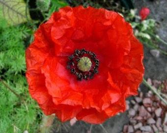 APO)~CORN RED Poppy~Seed!!!~~~~~~The Veteran's Day Poppy!
