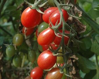 Tomato Plant, Rosalita Organic Grape Cherry