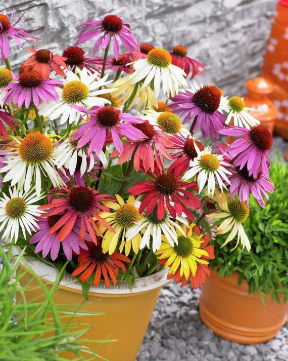 echinacea butterfly mixed unique flowers attracts birds. Black Bedroom Furniture Sets. Home Design Ideas
