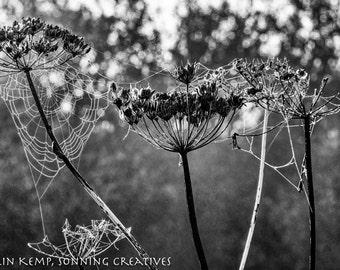 Cobweb nature photo, Dew covered spider web, nature photography, fine art black and white photograph,