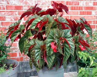 Angel Wing Begonia Flowers, Tropical House Plant With Pink & Green Leavers Angelwing, A Perfect Indoor Houseplant Garden