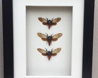 CICADAS  . Three real Cicadas framed in a Black shadow box