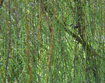 Cupressus Macrocarpa 'Saligna Aurea' 10 seeds