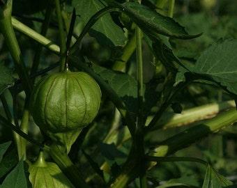 SAVE STRAY CATS: Organic Tomatillo seeds
