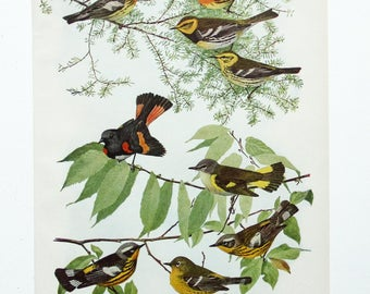 Vintage Print Birds North America Warblers Color Book Illustration - 1950s