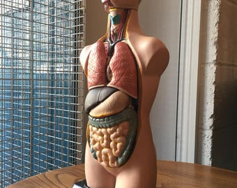 Vintage French Anatomical Teaching Model. Quirky/Medical/Curio/Interiors.