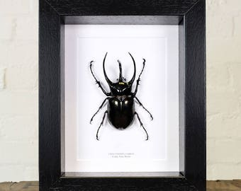 Giant Atlas Beetle in Box Frame (Chalcosoma chiron)