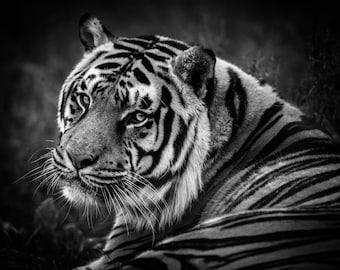 Gentle Giant Tiger