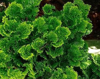 Hinoki Cypress Tree Seeds (Chamaecyparis obtusa) 35+Seeds