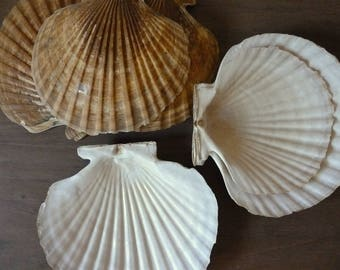 Large Scallop Shells / Instant Collection / Beach Decor / Vintage Sea Shells