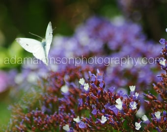 Photograph of white butterfly on purple flower