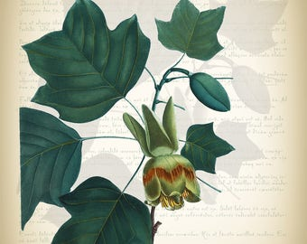 Botanical Art Print - Vintage Botanical Print - Liriodendron tulipifera Illustration Print - Redoute Botanical Print - Tulip Poplar Print
