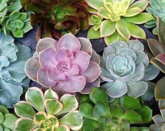 12 Big Assorted Rosette Succulent Cuttings Rare Echeveria Aeonium Wedding Favors - Exotic Succulent Plant