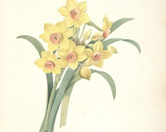 flowers-23947 - narcissus tazetta, paperwhite, bunch-flowered Daffodil, Chinese sacred lily, cream narciss, joss flower polyanthus narcissus