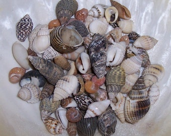 Teeny Tiny Mini Small Sea Shell Mix Supplies for Arts and Crafts, Home Decor, Collections, Jar Filler, Jewelry Supply/ Mixed Beach Seashells