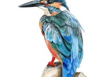 KingFisher art print illustration bird animal art bird illustration