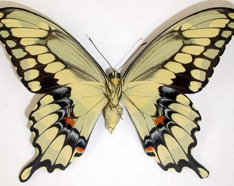 ONE Real Butterfly Yellow Arizona Giant Swallowtail Papilio Cresphontes