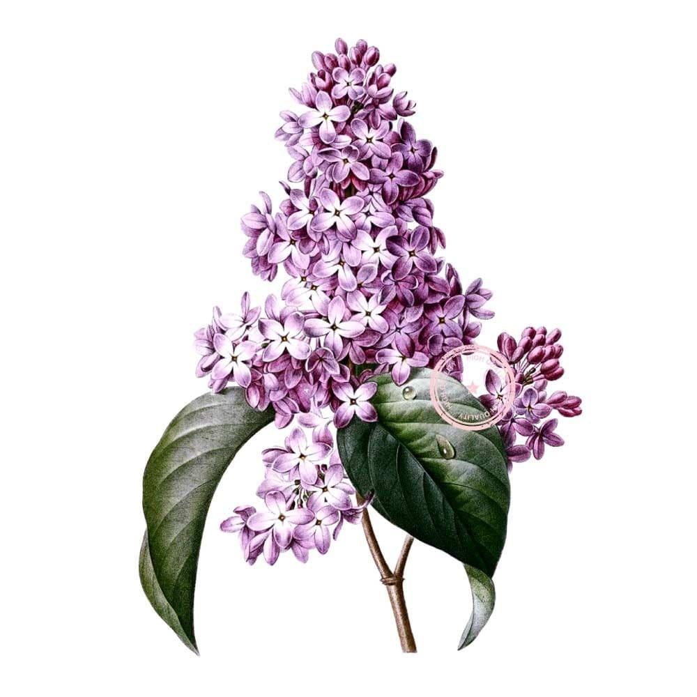 Lilacs Flower Clip Art Vintage Floral Clipart Purple