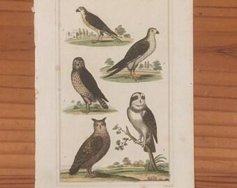 1822 Antique Engraving--Hawk, Falcon, Buzzard, Owls