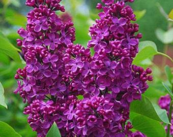 TSL) MONGE LILAC~Seeds!!!!!!~~~~~~~Rich Burgundy Color!!