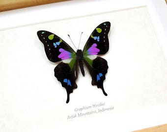 FREE SHIPPING Framed Real Graphium Weiskei Purple Spotted Swallowtail Taxidermy High Quality A1/A1-