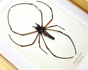 FREE SHIPPING Real Framed Golden Orb-web Spider Nephila Pilipes Taxidermy High Quality A1