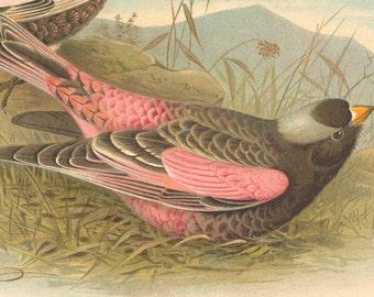 1940's Vintage Bird Print Black Rosy Finch Black Leucosticte Ornithology Robert Ridgway