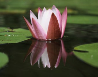Pink Pond Lily - Water Lily Flower Photography