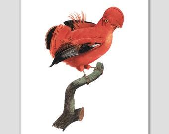 Parrot Art, Bird Print (Orange Home Decor, Natural History) 8x10 or 11x14 -- 18th Century Artist