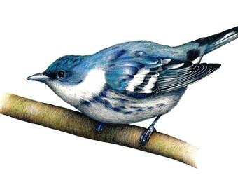 Cerulean Warbler - print