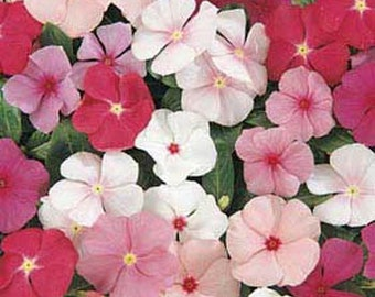 Periwinkle Seeds, Vinca,  Rosea Dwarf Little Mix, Groundcover, Annual
