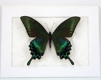 Green Swallowtail -Real Framed Butterfly - Papilio mackii