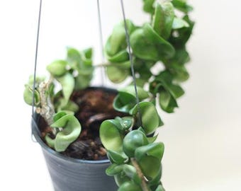 """Wax or HIndu Rope plants """" Hoya Compacta """" by Joinflower Joinfolia."""